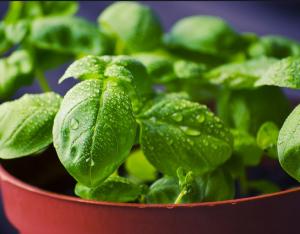 Basil plant.