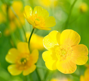 Close-up of yellow buttercup flowers.