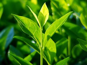 Tea Tree oil plant.