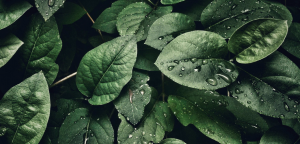 Closeup of wet leaves.