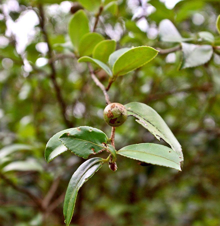 Leaves of tea tree.