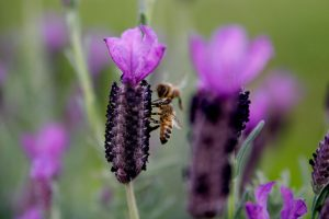 Bee on lavender plant.