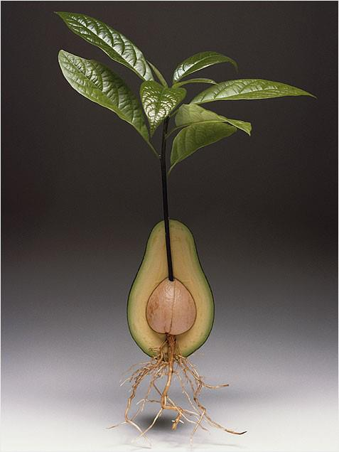 Inside an avocado plant with roots.