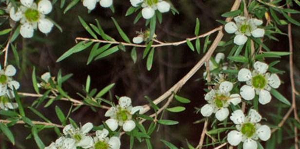 White wild flowers.