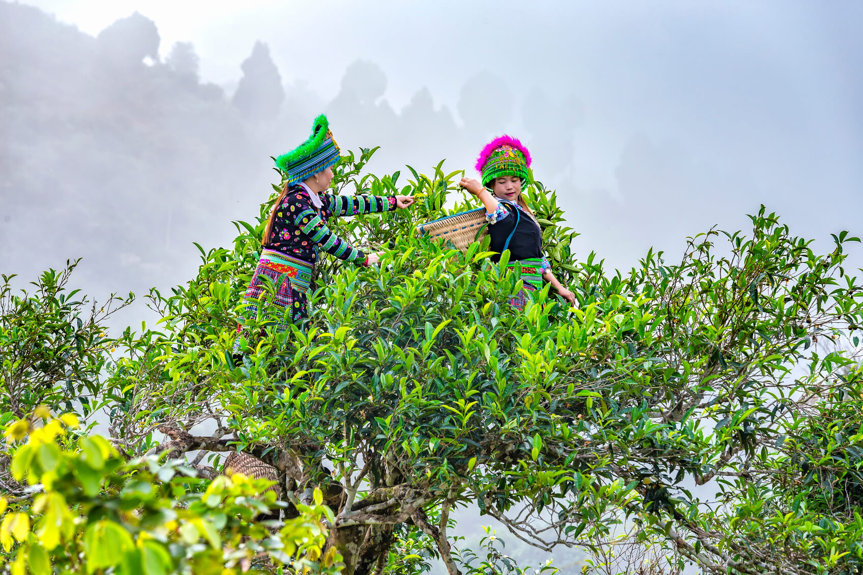 Woman picking tea tree.