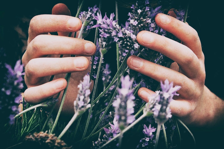 Lavender in hands.