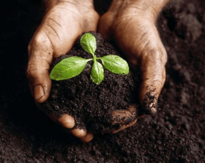 Man holding dirt and a sprouting plant.