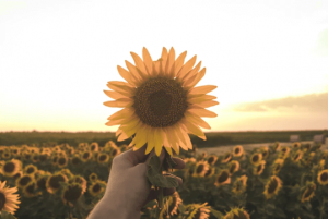 Hand holding sunflower in field of sunflowers