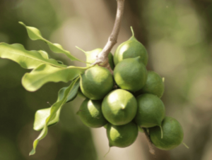 Macadamia nut tree.