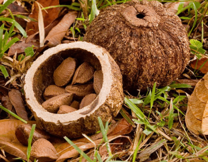 How brazil nuts grow.