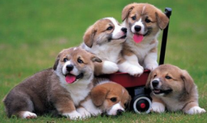 Picture of puppies.
