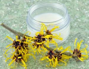 witch hazel plant with jar of cream