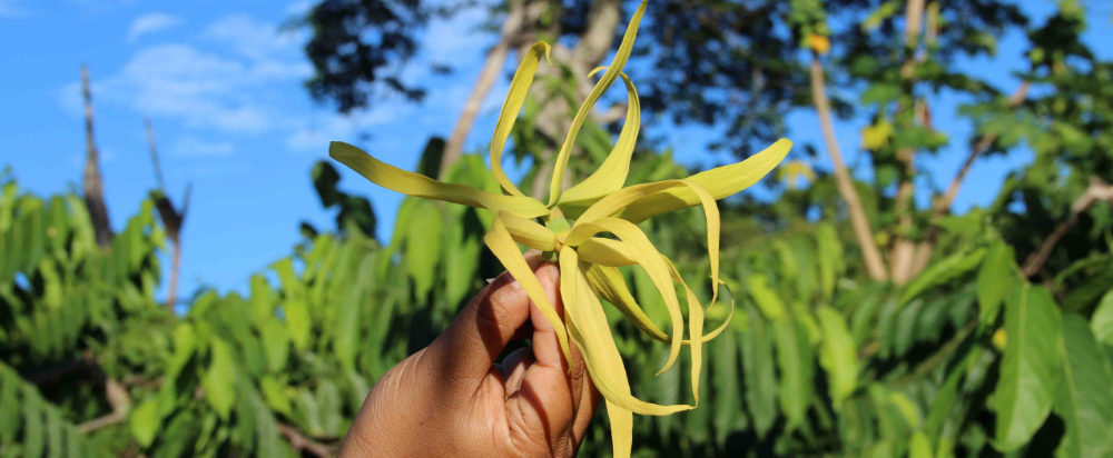 person holding a ylang ylang flower