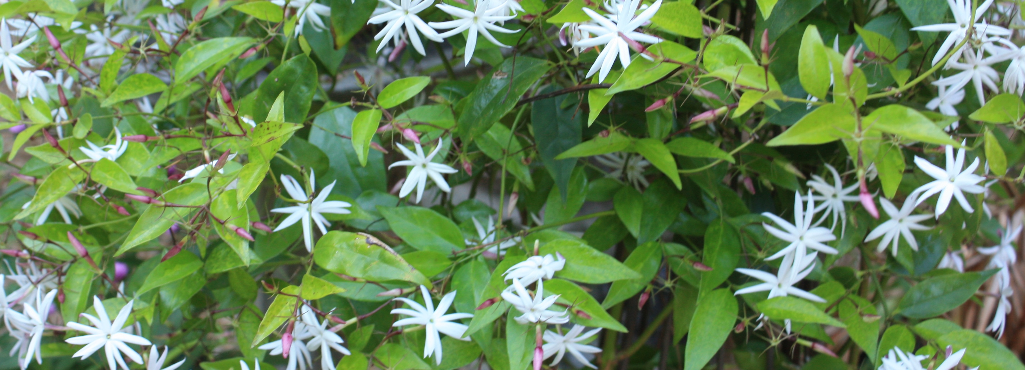 Jasmine plant with white flowers