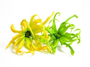 2 ylang ylang flowers