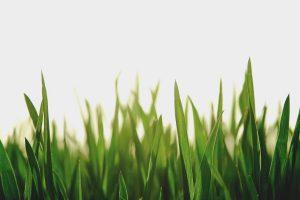 palmarosa grass in the sun