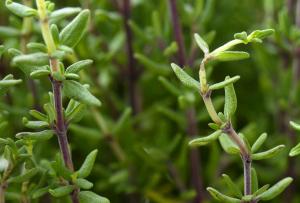 Thyme growing.