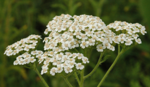The yarrow plant growing in nature.