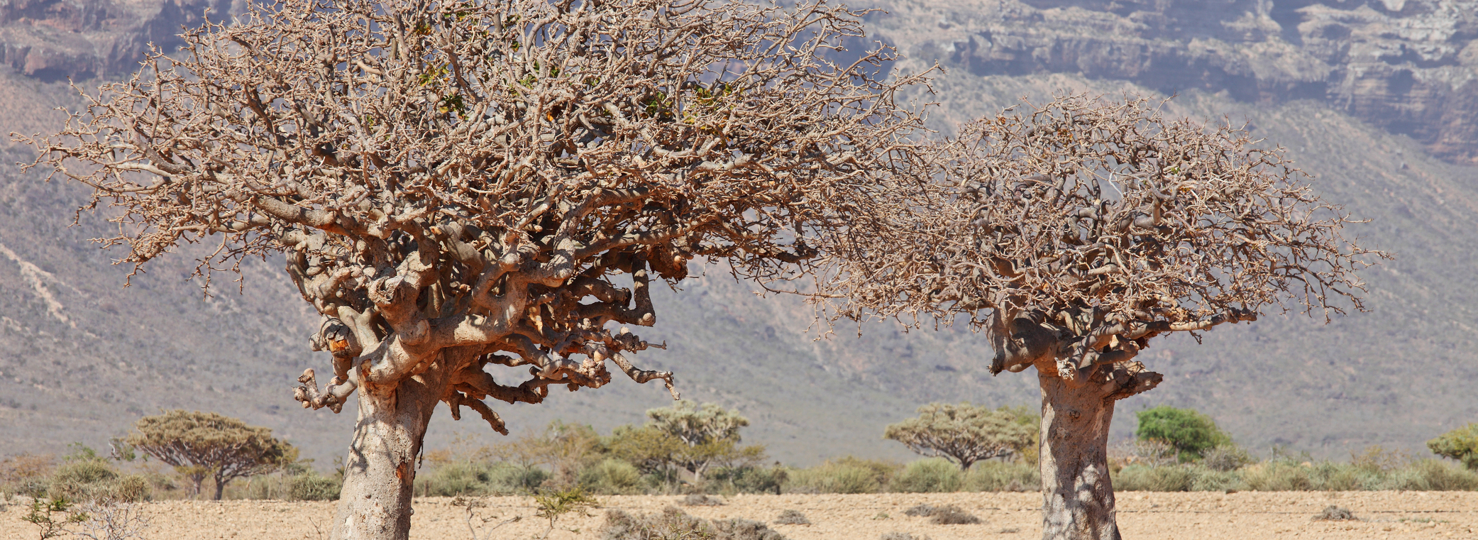 Trees with myrrh growing.