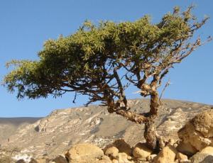 Myrrh tree.