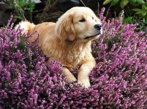 Beautiful Dog In A Lavender Field.
