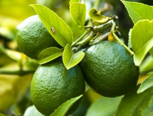Lime growing on tree.