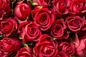 Pile of red roses.