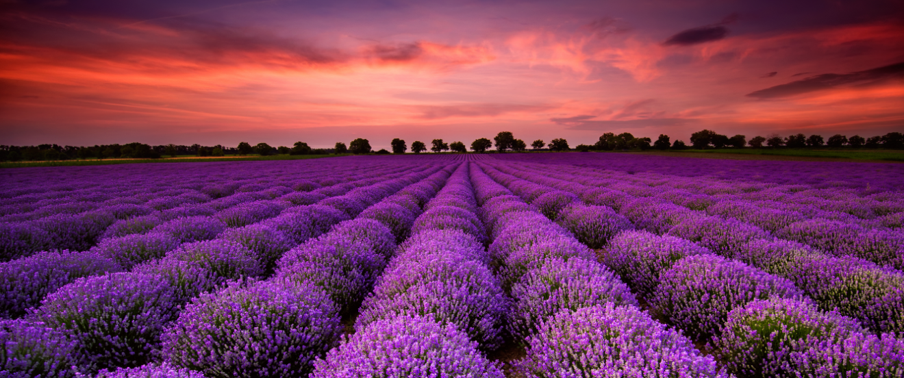 Field of lavender in sunset.