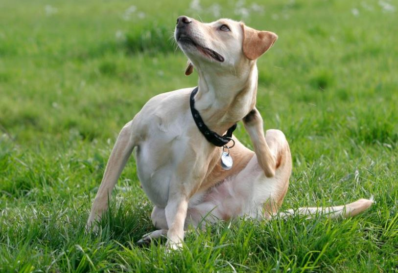 Dog sitting on grass scratching itself.