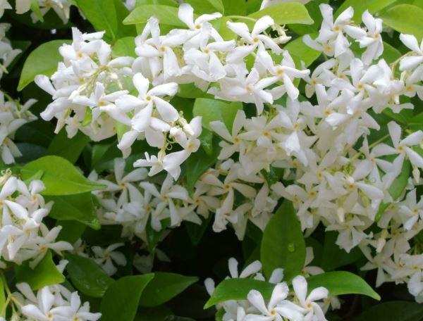 Jasmine absolute oil.