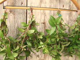 Leaves hanging from stick on wall.