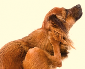 Side view of dog itching behind ear.