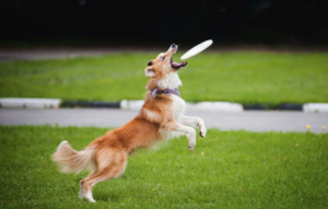 Dog jumping to catch a frisbee.