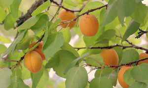 Apricots growing in tree.