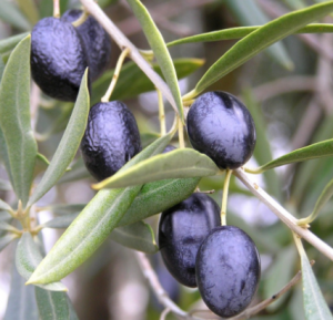 Kalamata olives on the vine.