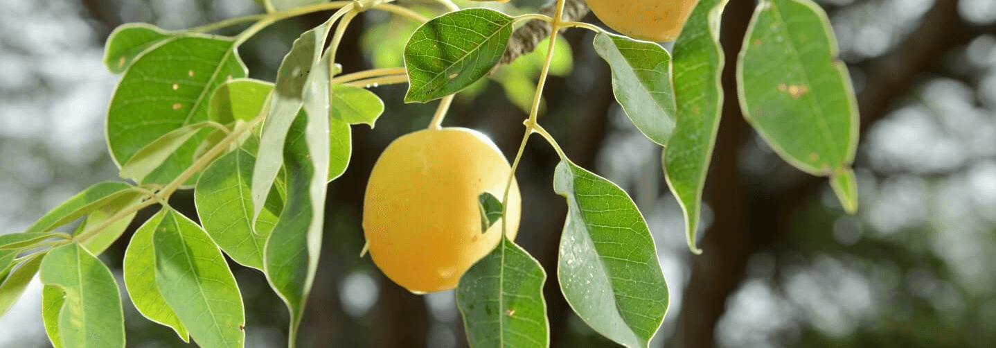 Yellow fruit growing on a branch.