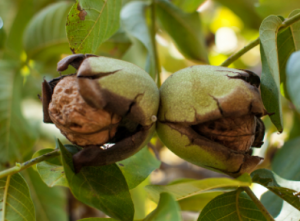 Walnuts growing in tree.