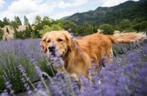 Dog running through field of lavender.