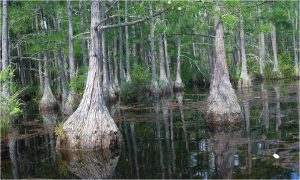 Trees in swamp.