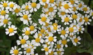 Feverfew plant growing in the wild.