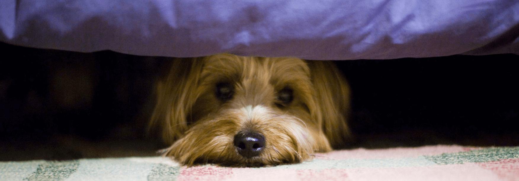 Dog hiding under bed.