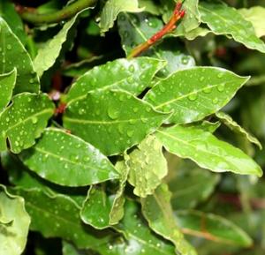 the bay laurel plant
