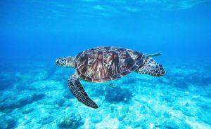 Turtle swimming under water in ocean.