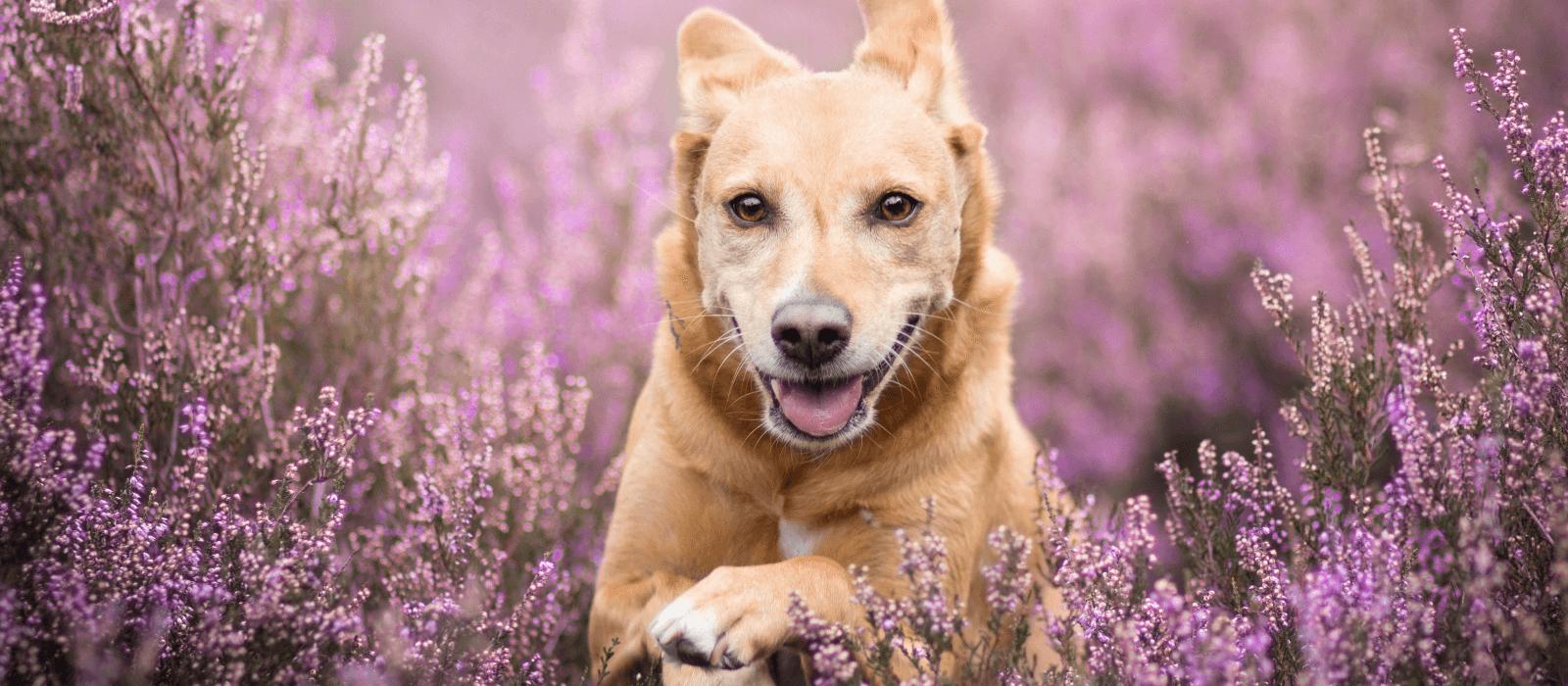 Dog running through field.