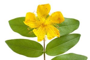 St. johns wort growing with leaves.