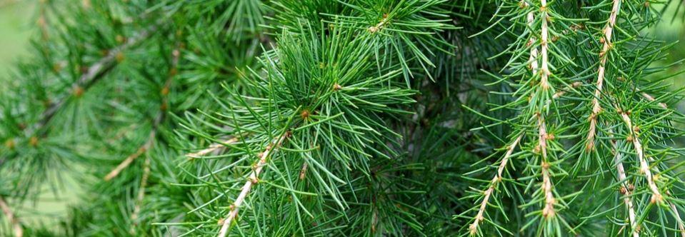 Cedarwood tree.