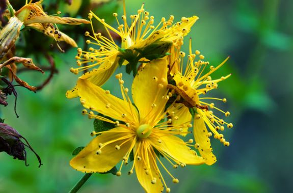 St johns wort growing in the wild.