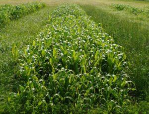 Field of alfalfa.