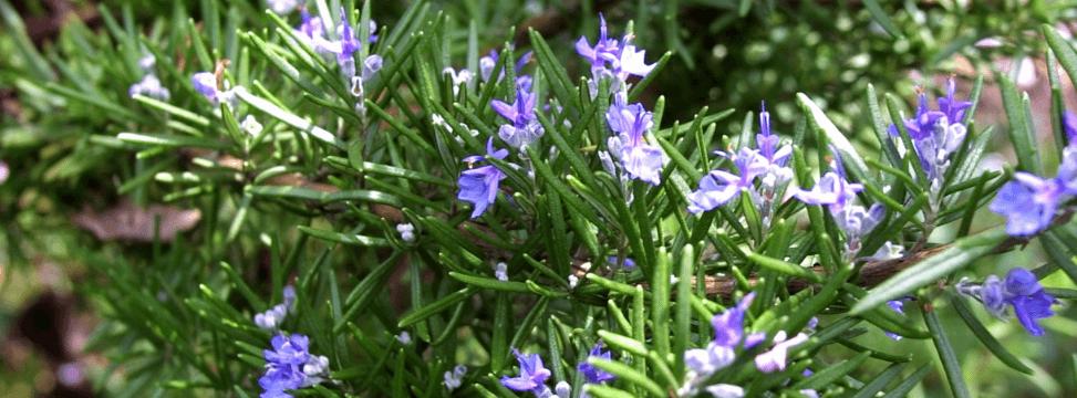 Wild rosemary plant