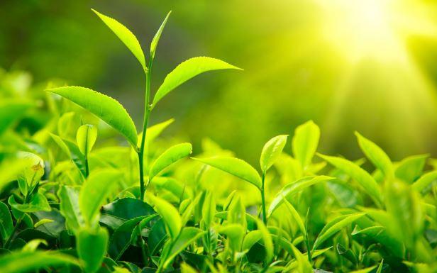 Matcha plant.